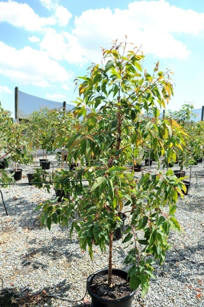 how to grow flowering gum trees