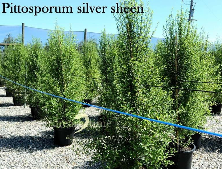 Pittosporum Silver Sheen,Silvery Leaves